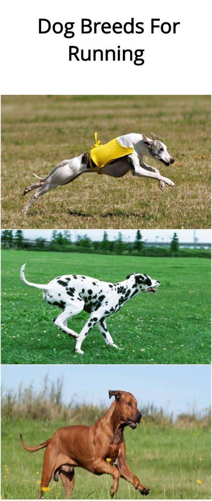 15-dog-breeds-for-running1